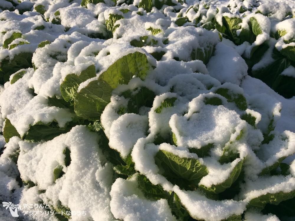 雪をかぶった白菜〜byきこりんとアジアンリゾートなおうちで田舎暮らし&薪ストーブ〜
