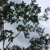 【外構】ひぇー、アオダモの葉っぱが穴だらけに・・