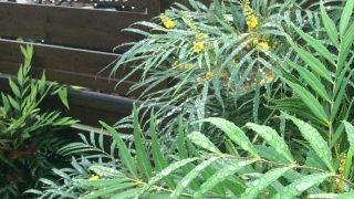 庭のマホニアコンフューサに蜂が!これって危ないやつですよね・・。
