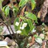 常緑樹ハイノキの現状と、過酷なる害虫との戦い。