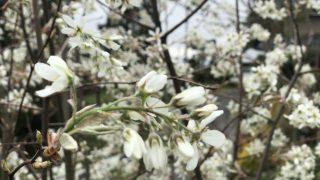 桜の次はジューンベリー?一気にジューンベリーが満開です