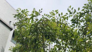 シンボルツリーに人気のシマトネリコ、常緑樹だと安心するのは危険です。