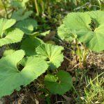 山菜シーズン到来。毎年の春の楽しみに庭で山菜を育ててみる。