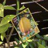 庭の片隅に植えておきたい柑橘類の木(レモン、再チャレンジです)