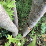 台風で折れた植木をくっつけてみた。