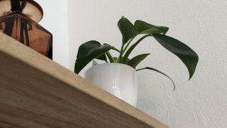 300円で陶器の鉢付き。プチプラな観葉植物が意外と強くてかわいい。