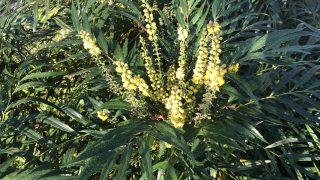 対策を考えないと。マホニアコンフューサの花とスズメバチ。