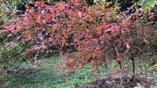 現在の裏庭。紅葉と、ちょっと最近困っていること。