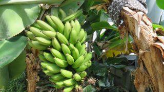 【バナナの成長記録】サンジャクバナナを植え替えました。